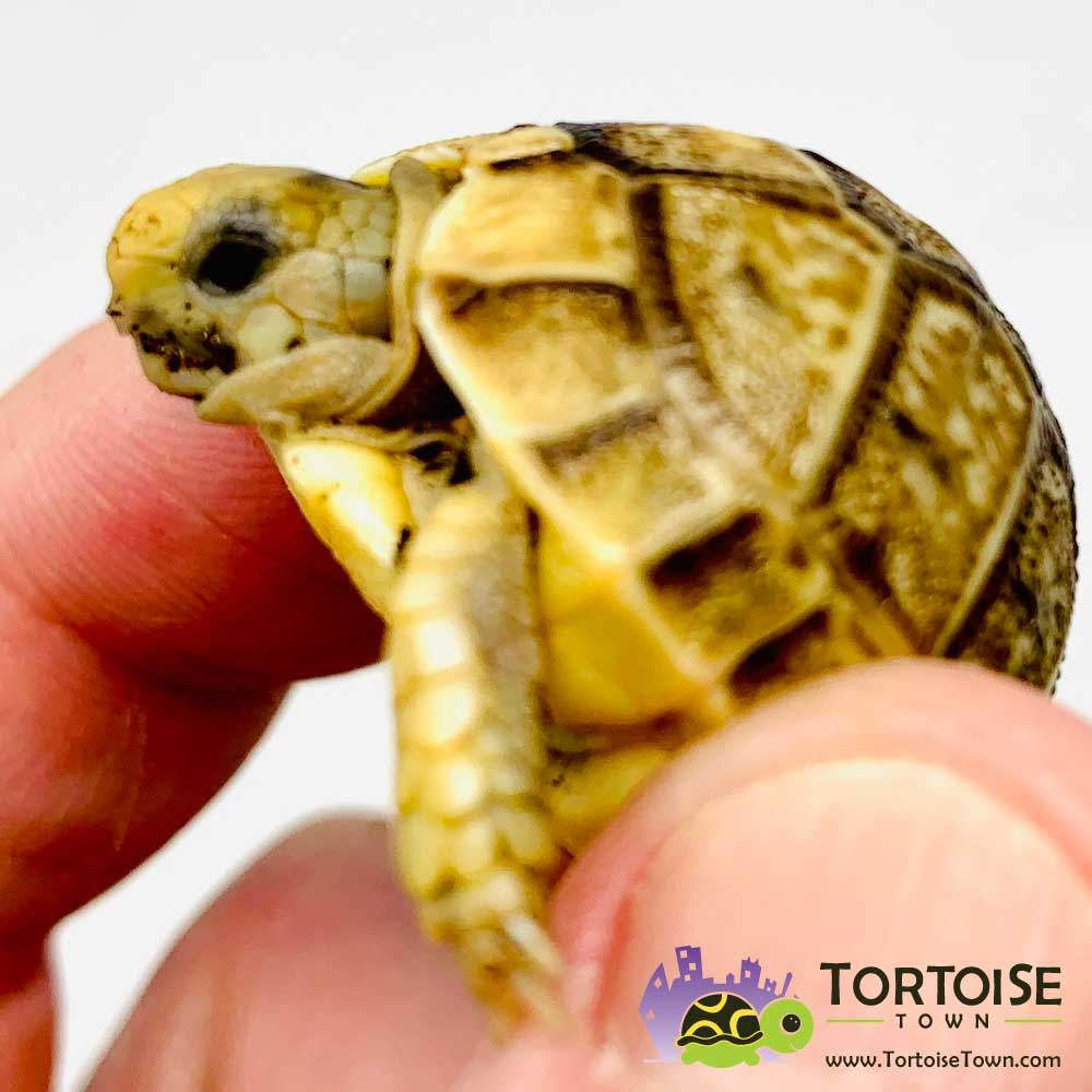 baby Egyptian tortoise for sale