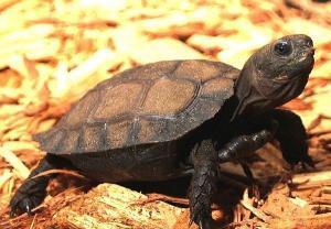 Burmese black tortoise for sale