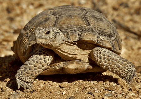 desert tortoise for sale