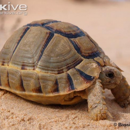 egyptian tortoise for sale