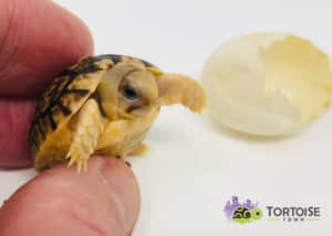 Egyptian tortoises for sale