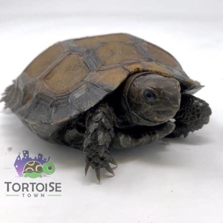 mountain tortoise for sale
