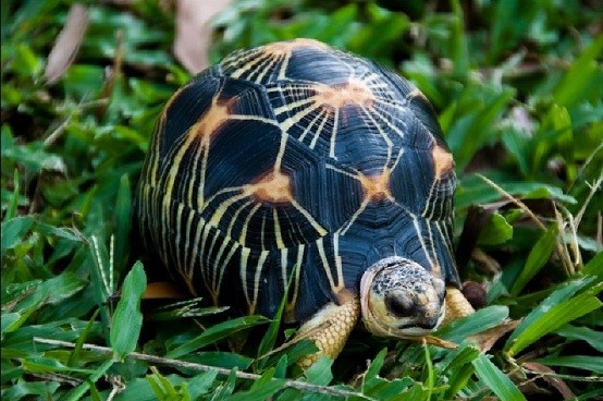 radiated tortoise for sale