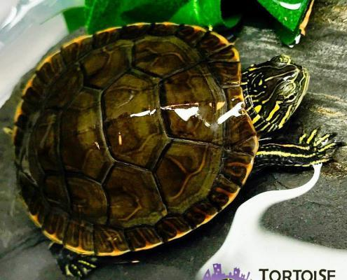 Western painted turtles for sale