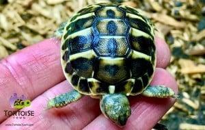 western hermann's tortoise