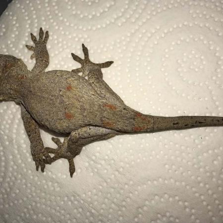 orange blotch gargoyle gecko for sale