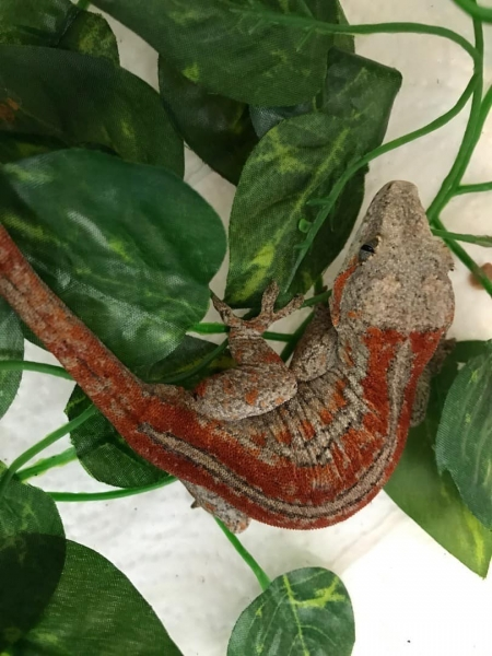red gargoyle gecko for sale