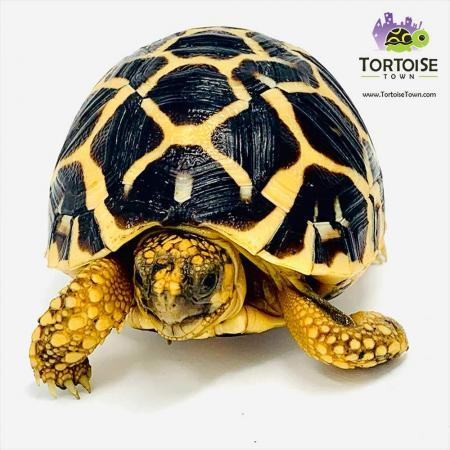 Indian star tortoise for sale