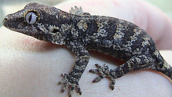 geckos for sale online