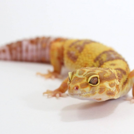 albino leopard geckos for sale