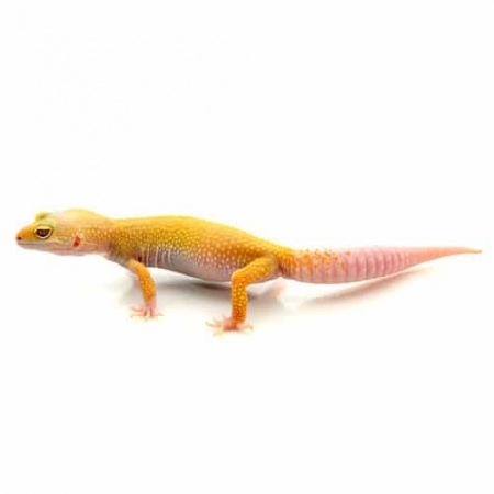hypomelanistic high yellow leopard gecko for sale