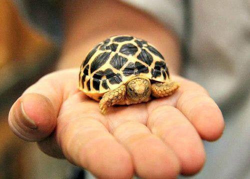 Baby tortoise for sale online | buy baby tortoises for ...