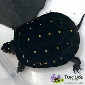 baby water turtle