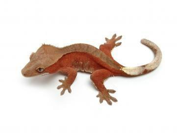 bicolor crested gecko for sale