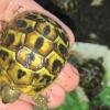 calabrian western hermann's tortoise
