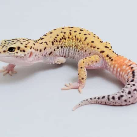 eclipse leopard gecko for sale