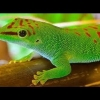 giant day gecko for sale