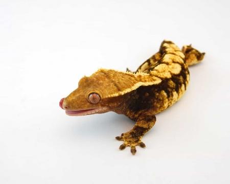harlequin crested geckos for sale