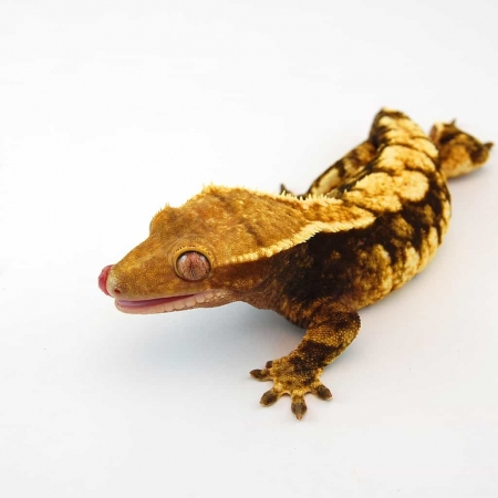harlequin crested geckos for sale