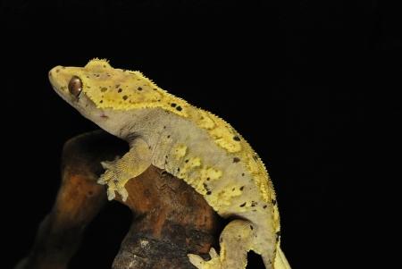 harlequin dalmation crested gecko for sale