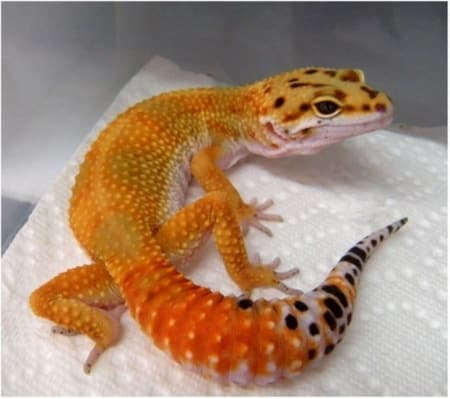 high color leopard geckos for sale