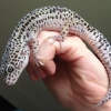 mack snow leopard gecko for sale