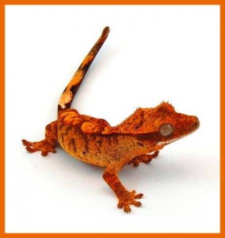 orange tiger flame crested gecko for sale
