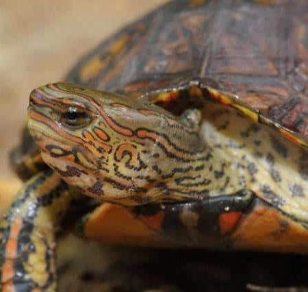 ornate wood turtle for sale