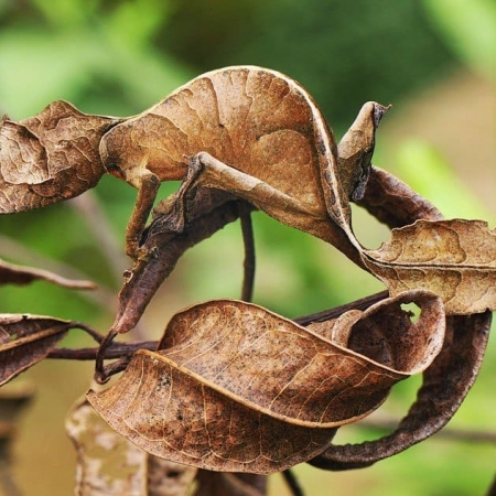 Satanic Leaf Gecko for sale