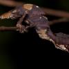 Satanic Leaf Gecko for sale