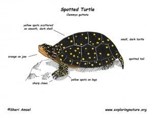 spotted turtles for sale