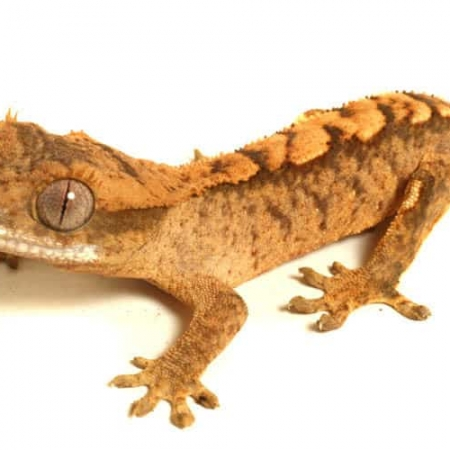 Tiger crested gecko for sale