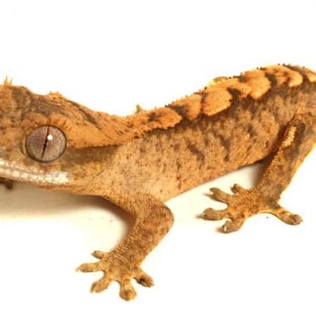 Tiger crested gecko for sale