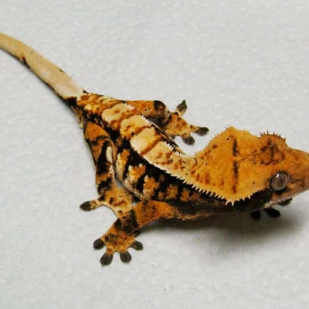 Tiger pinstripe crested gecko for sale