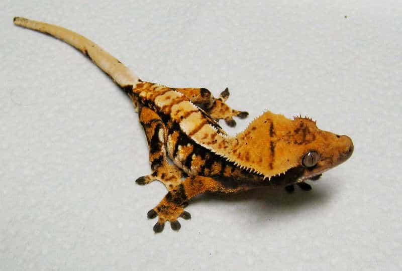 Tiger pinstripe crested gecko for sale