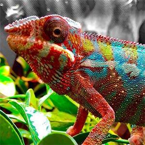 chameleons for sale