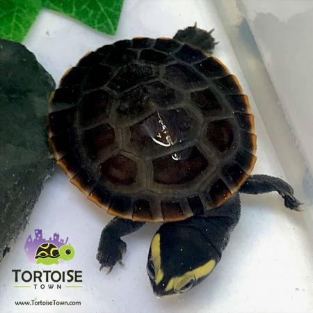 pink belly side-necked turtle