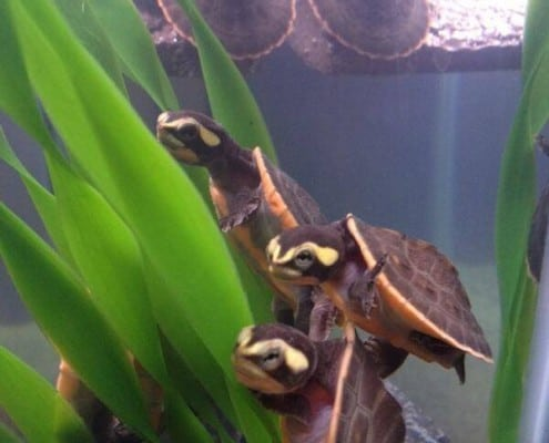 pink belly side necked turtle for sale