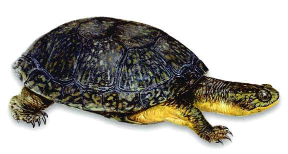 blanding's turtles for sale online