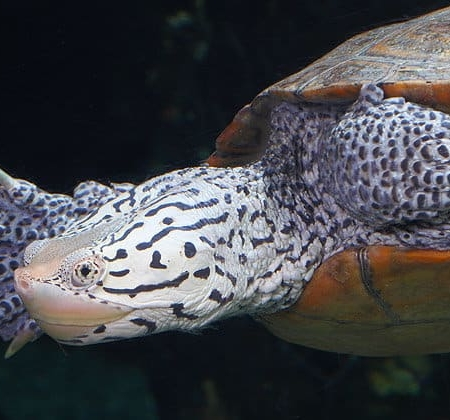diamondback terrapin for sale