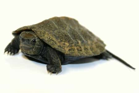 japanese pond turtles for sale