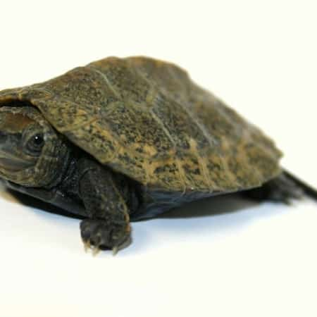 japanese pond turtles for sale