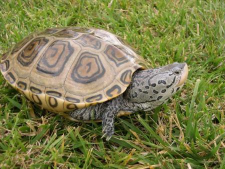 northern diamond back terrapin for sale