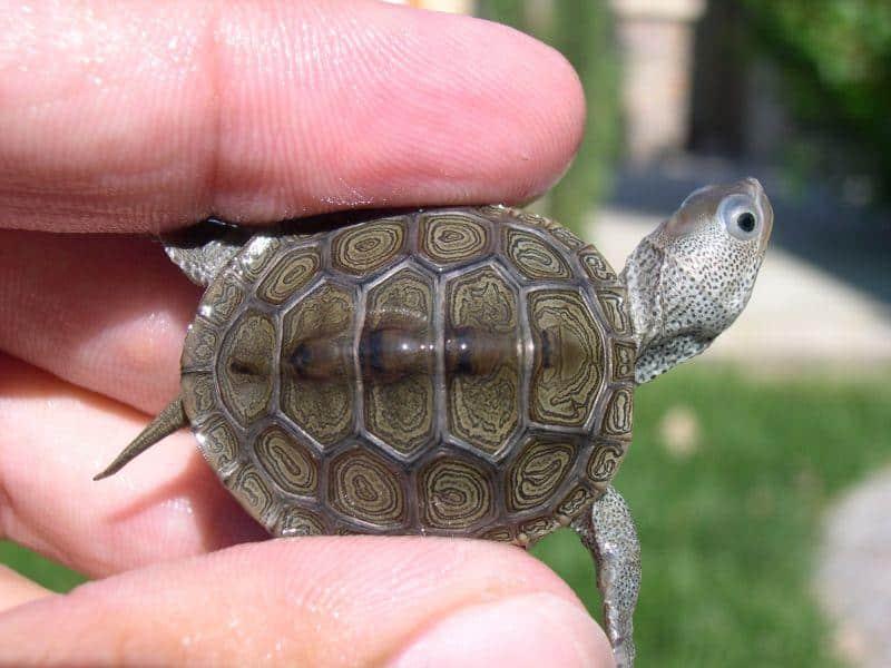 Diamondback Turtle For Sale