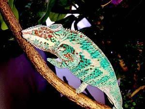 Panther Chameleon for sale online | buy baby panther chameleons for sale
