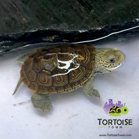 terrapin for sale