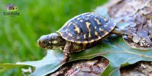 ornate box turtles for sale