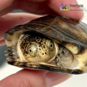 African Sidenecked turtles for sale