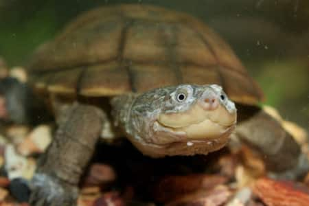 african side necked turtle for sale