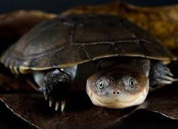 African Side Necked Turtle For Sale Baby Sidenecked